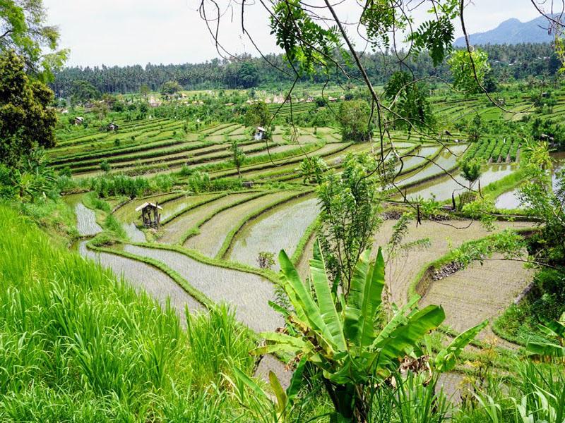 Tegalalang-Rice-Terrace-Bali-Tour-Service