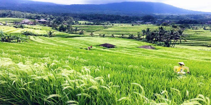 Jati Luwih Rice Terrace UNESCO World Site - Bali Tour Service