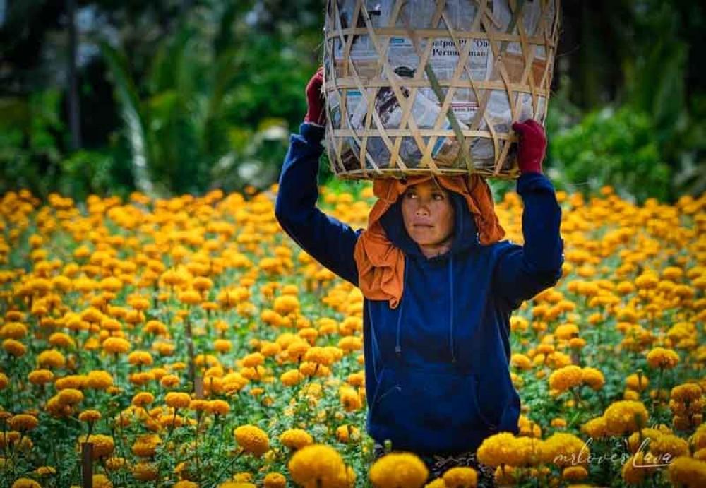 Marigold Flower Field - Bali Tour Package