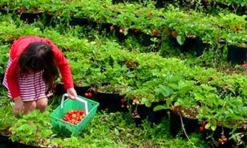 Bedugul Strawberry Farm - Bali Tour Package