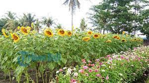Sunflower at Belayu Village - Bali Tour Package